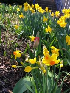 4.18 daffodils galore
