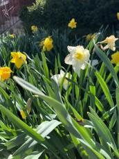 4.18 daffodils