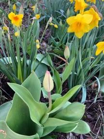 4.18.gina tulip_dafodils
